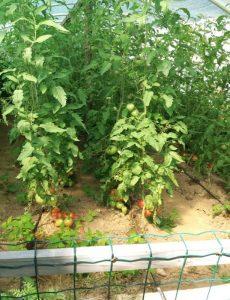 Uzgoj povrća na rekultivisanom zemlјištu